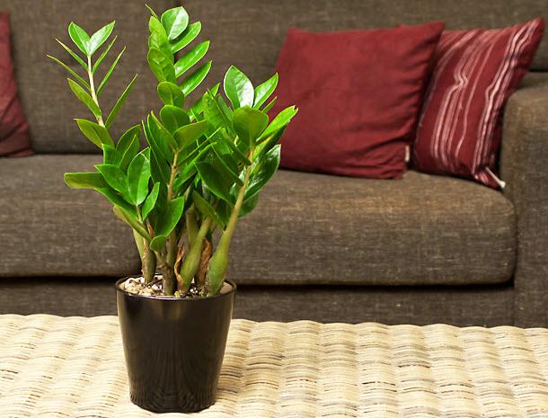 Как выращивать и ухаживать за замиокулькассом