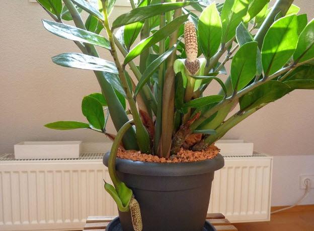 Особенности ухода за цветком Замиокулькас в домашних условия